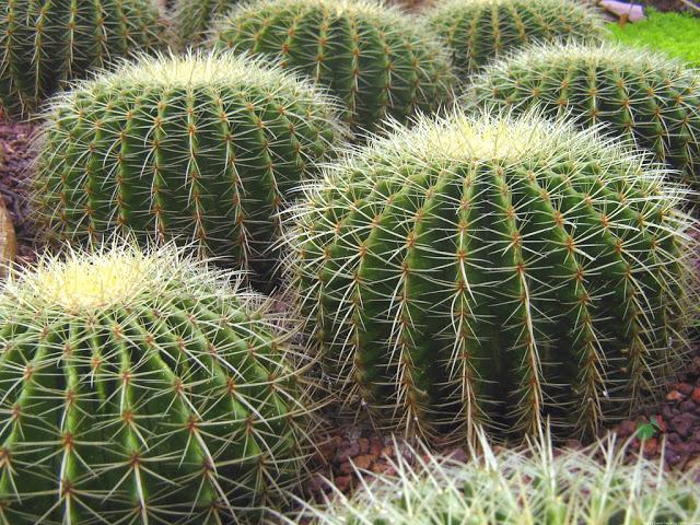 Лечебные свойства кактуса и народные рецепты лечения