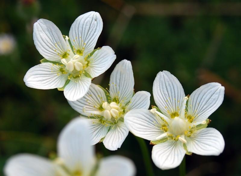 Лечебные свойства белозора болотного