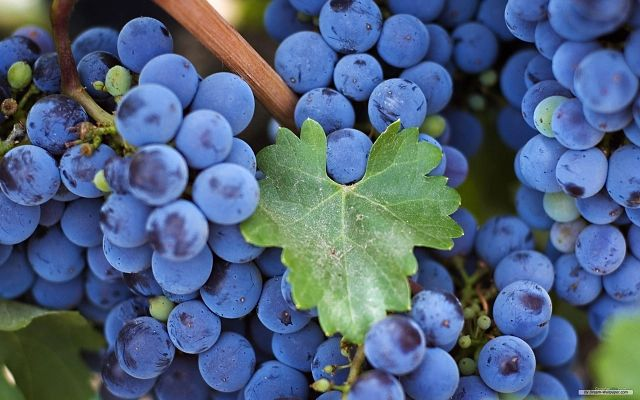 Целебные свойства виноградной лозы