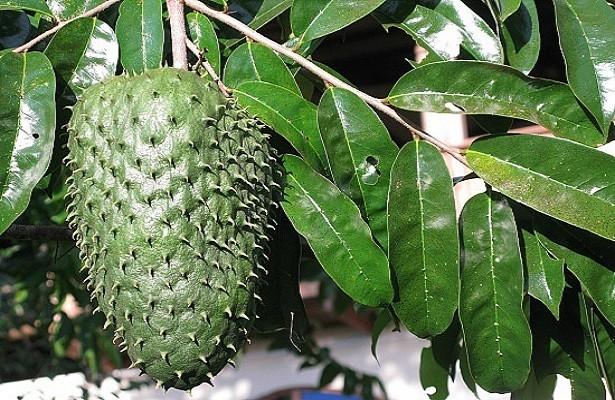 Фрукт гуанабана (саусеп): польза и вред