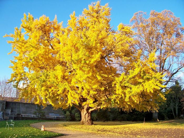 Гинкго билоба - древнейшее растение от тысячи болезней
