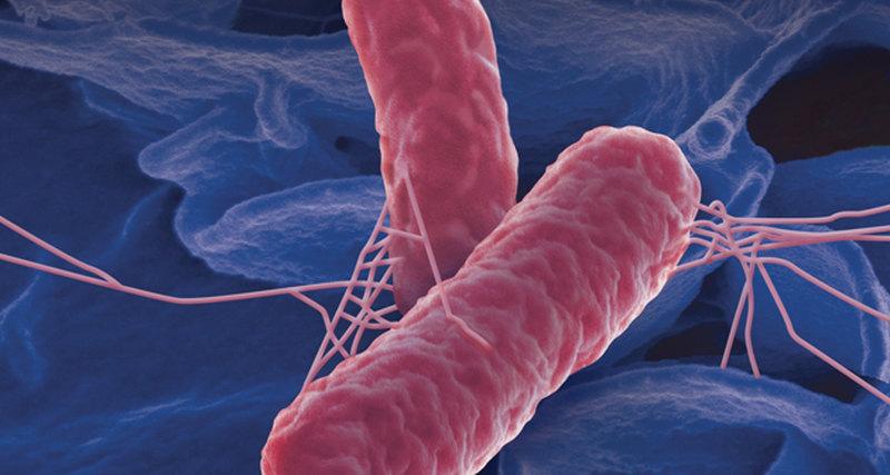 Живучая бацилла: как не стать жертвой сальмонеллеза