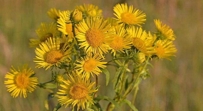 Девясил - растение против девяти недугов