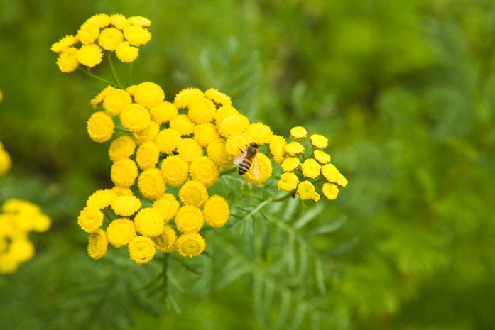 Пижма - целебная трава с особенным ароматом