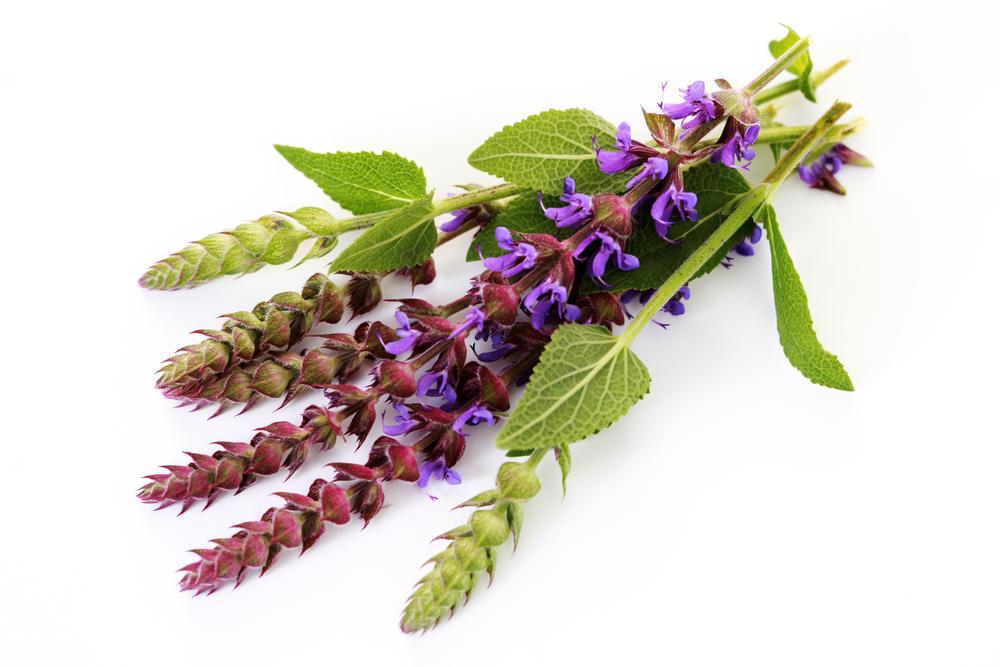 Целительный шалфей - всё о полезных свойствах растения