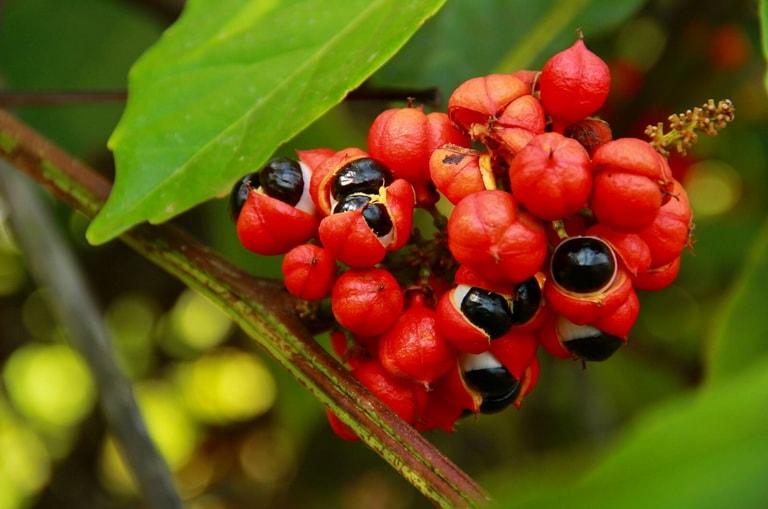 Гуарана - природный источник неиссякаемой энергии