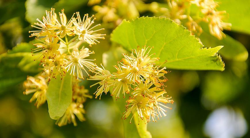 Целительная сила природы — цветки липы, их полезные свойства и противопоказания