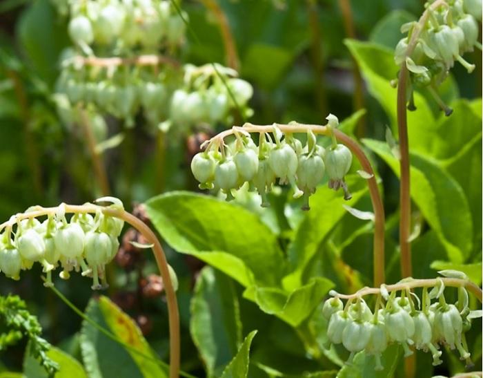 Волшебное растение боровая матка: лечебные свойства и противопоказания, как применять, кому и сколько