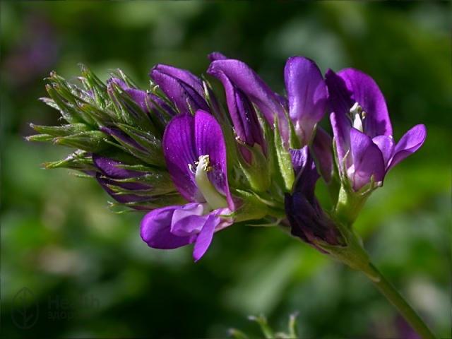 Целебное растение — люцерна, ее полезные свойства и противопоказания