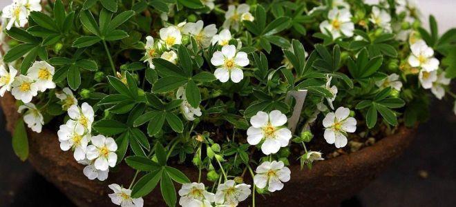 Уникальное растение — белая лапчатка, расскажем о ее полезных свойствах, содержании ценных веществ и противопоказаниях