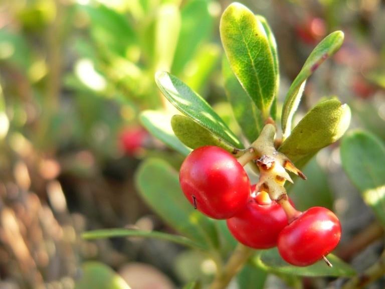 Удивительные лечебные свойства толокнянки, полезное воздействие на человека, возможные противопоказания растения