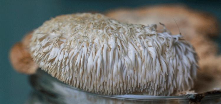 Гериций гребенчатый - лечебные свойства необычного гриба