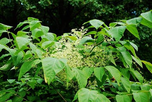 Аралия маньчжурская - лечебные свойства, рецепты народной медицины