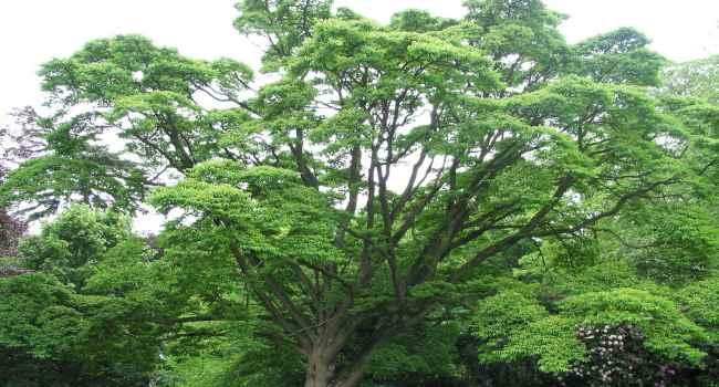 Растение амурский бархат - лечебные свойства