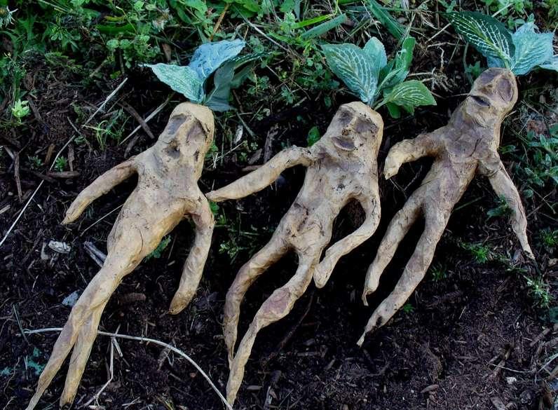 Корень мандрагоры - лечебные свойства неоднозначного растения