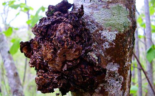 Березовый гриб (чага) - лечебные свойства и применение в народной медицине