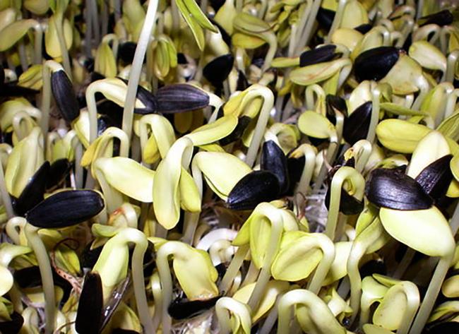 Пророщенные семечки подсолнуха - чем они полезны?