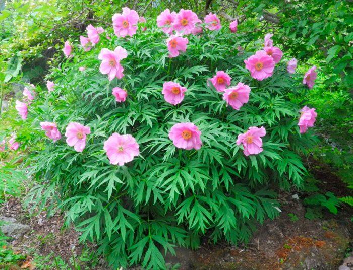 Растение марьин корень - лечебные свойства, рецепты народной медицины