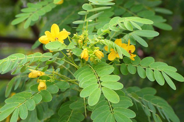 Листья кассии - лечебные свойства, применение в народной медицине