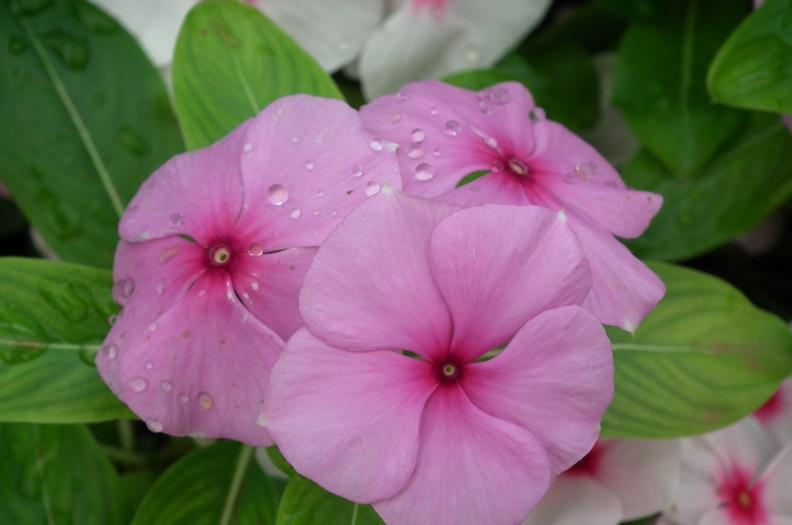 Барвинок розовый лечебные свойства
