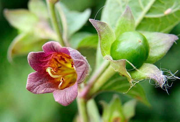 Белладонна - лечебные свойства, рецепты применения в народной медицине
