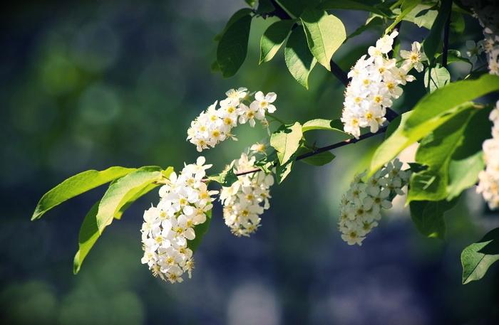 Цветки черемухи - лечебные свойства, применение в народной медицине