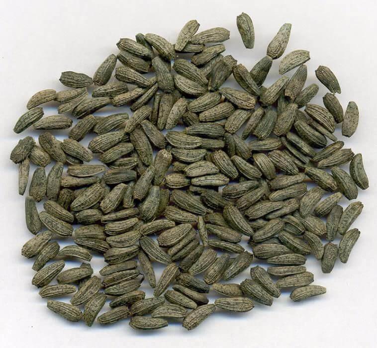 Лечебные свойства семян лопуха большого