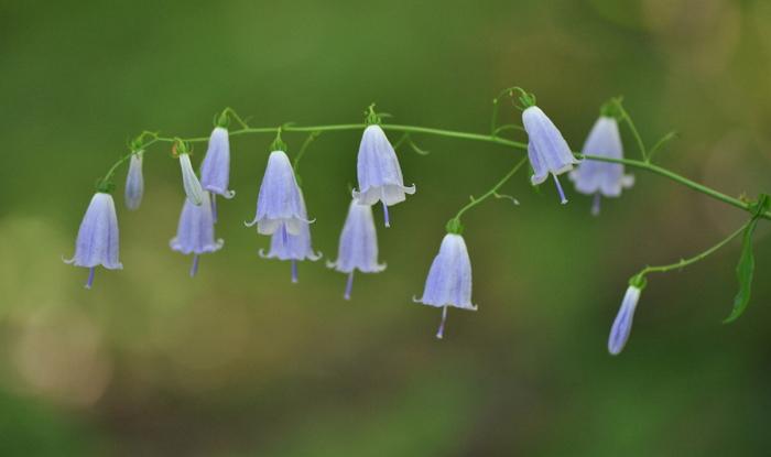 Бубенчик лилиелистный - лечебные свойства, применение в народной медицине