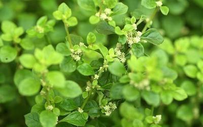 Лечебные свойства травы эрва шерстистая, применение в народной медицине