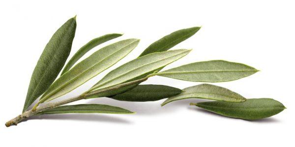 Листья оливы - лечебные свойства, противопоказания