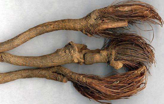 Маралий корень - лечебные свойства, применение в народной медицине