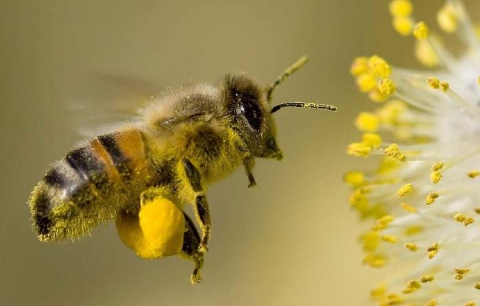 Маточная пыльца - лечебные свойства, применение в народной медицине