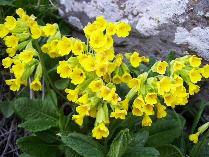Корень первоцвета - лечебные свойства, применение в народной медицине