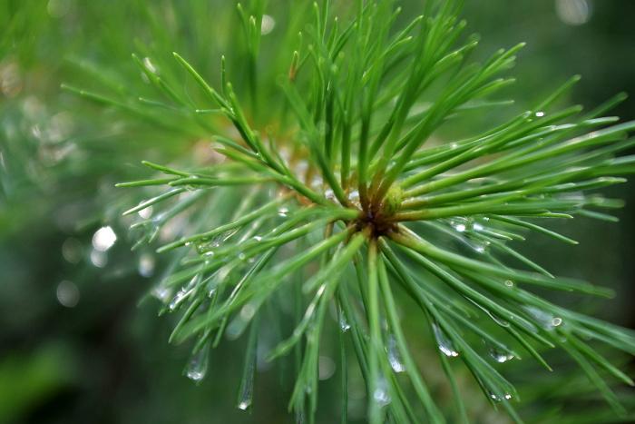Сосновые иглы - лечебные свойства, применения в народной медицине