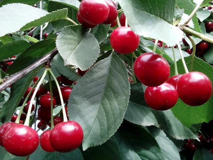 Листья вишни - лечебные свойства, применение в народной медицине