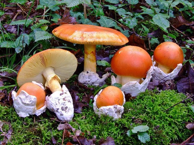 Цезарский гриб - лечебные свойства, описание