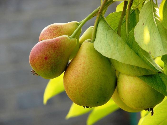 Лечебные свойства и польза груши