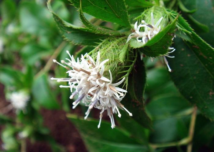 Атрактилодес - лечебные свойства, применение в народной медицине